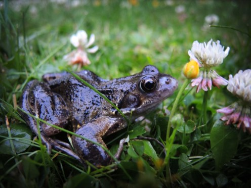 frog-in-grass-1
