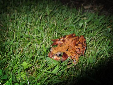 Photo of common frog