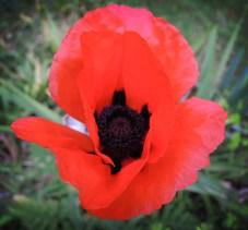 poppy-040616-b