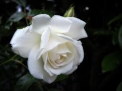 white-rose-090616-b