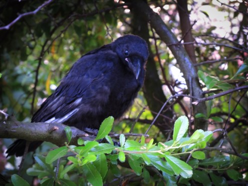 Photo of crow fledgling