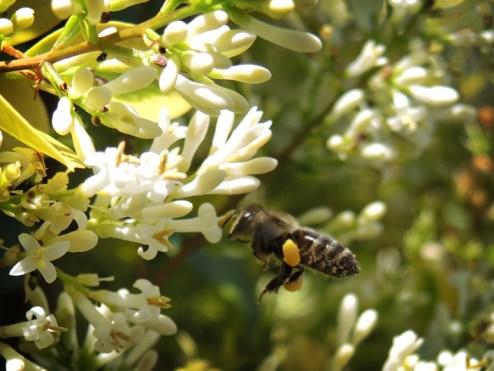 bee-incoming-privet