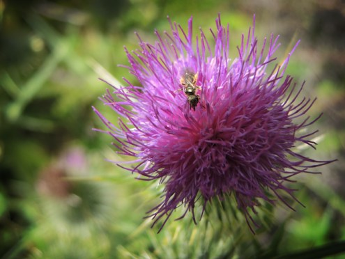 bee-solitary-thistle