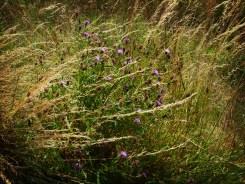 Photo of knapweed flowers