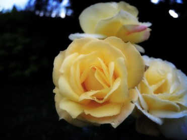 yellow-roses-100716