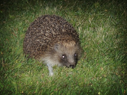 hedgehog-100816-a