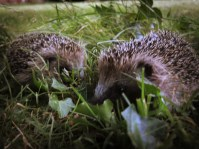 Photo of young hedgehogs
