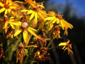 Photo of galls on ragwort