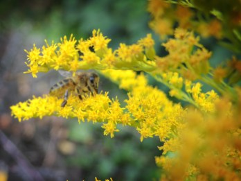 Photo of bee on goldenrod