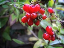 Photo of honeysuckle berries