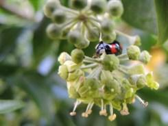 ladybird-ivy-sept-16-a