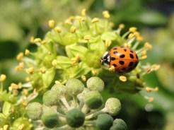 ladybird-ivy-sept-16-c