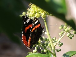 Photo of red admiral butterfly on ivy