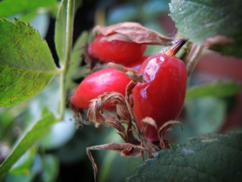 rosehips-a