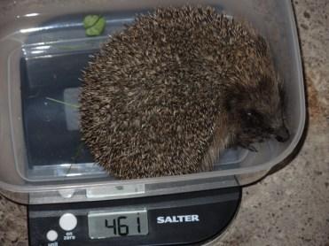 461g-hedgehog