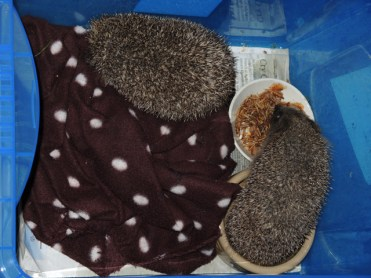 Photo of rescued hedgehogs