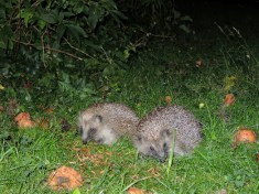 Photo of hedgehogs