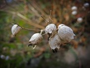 Photo of bladder campion seed heads
