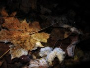 frosty-leaves-291116-a