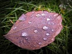 leaf-dew-drps