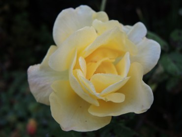 yellow-rose-nov-16