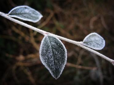 frosty-leaves-dec-16
