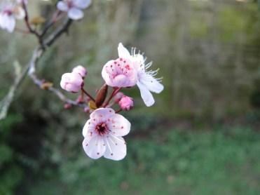 cherry-plum-0201317