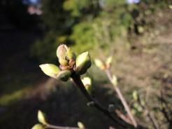 lilac-buds-020317