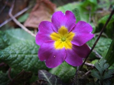 primrose-purple-110317