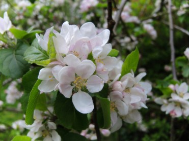apple-blossom-200417-a
