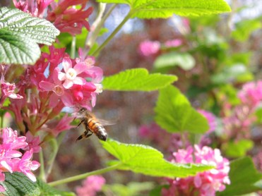 bee-flowering-currant-060417-b