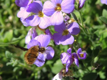 bee-fly-050417-d