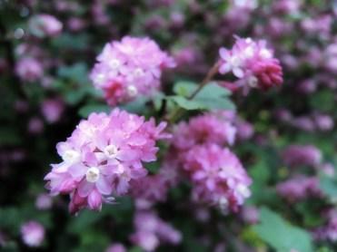 flowering-currant-310317