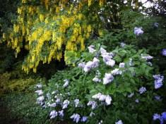 lilac-and-laburnum-020517