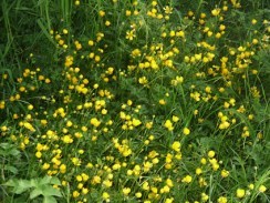 buttercups-230517