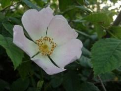 dog-rose-230517