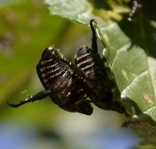 japanese beetle tummies