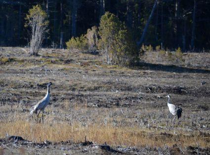 Roadside Cranes