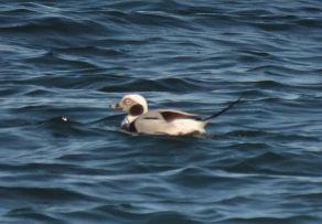 long-tailed duck.1703 estonia