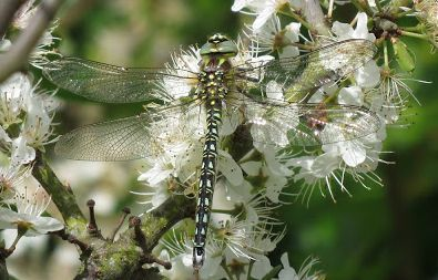 Hairy Hawker (male) courtesy of Pete Roby