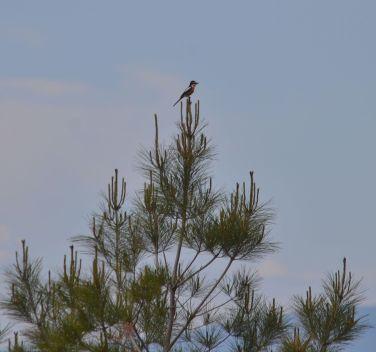 Tree top Masked Shrike