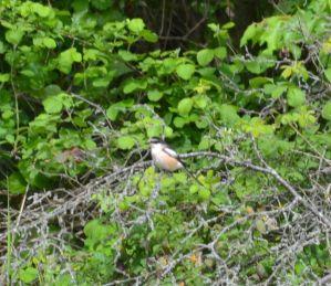 Masked Shrike again