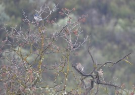 Western Scrub Jay and 2 Northern Flickers