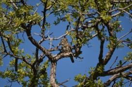 Northern Pygmy-Owl (Glaucidium gnoma)