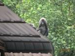 Dusky Leaf Monkeys_3