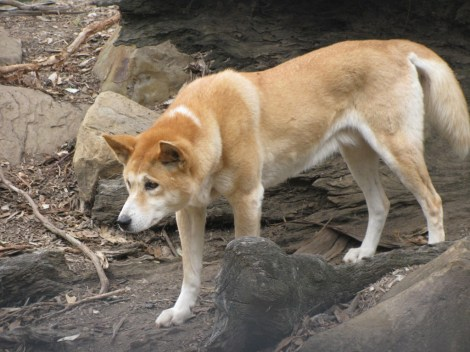 Dingo_2