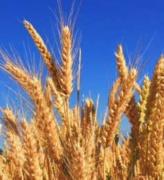 The harvest reaching lost people for the kingdom of God.