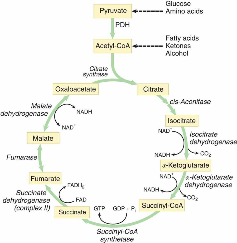 TCA Cycle/ Krebs Cycle