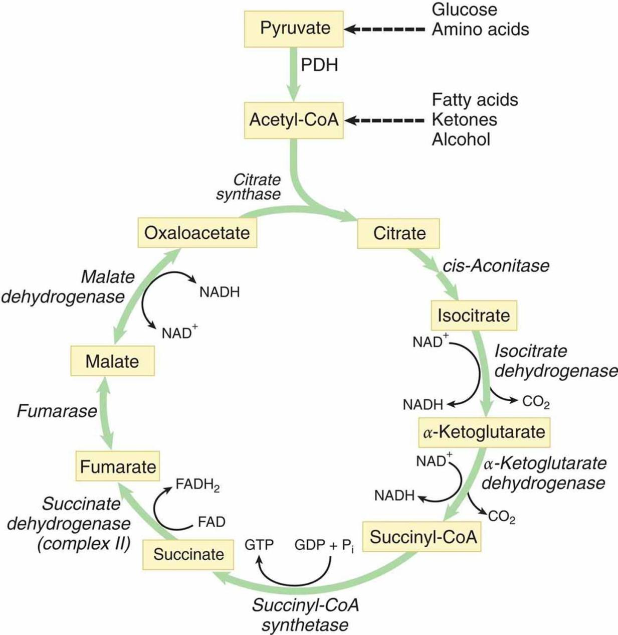 Citirc Acid Cycle