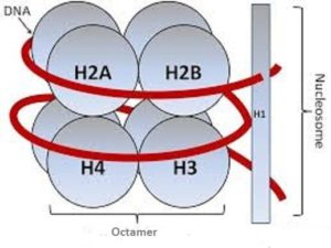 nucleosome
